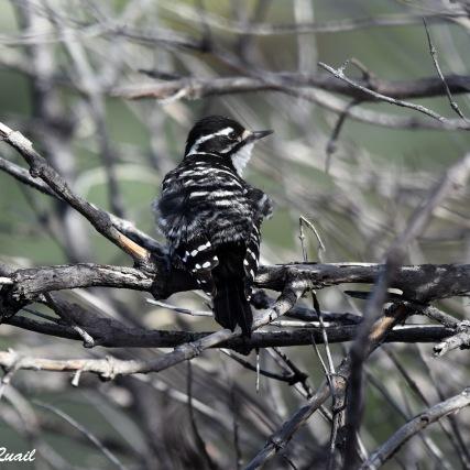 Nuttall's Woodpecker - female