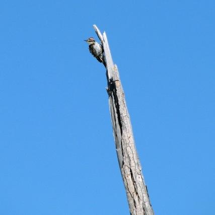 Ladder-backed Woodpecker - male
