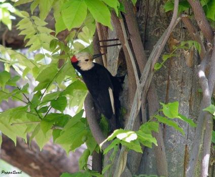 White-headed Woodpecker - male