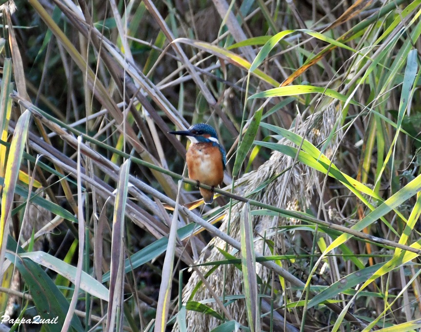 common_kingfisher_2