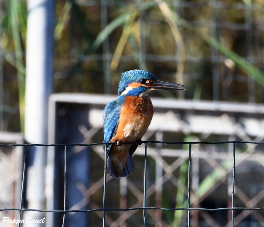 common_kingfisher_4
