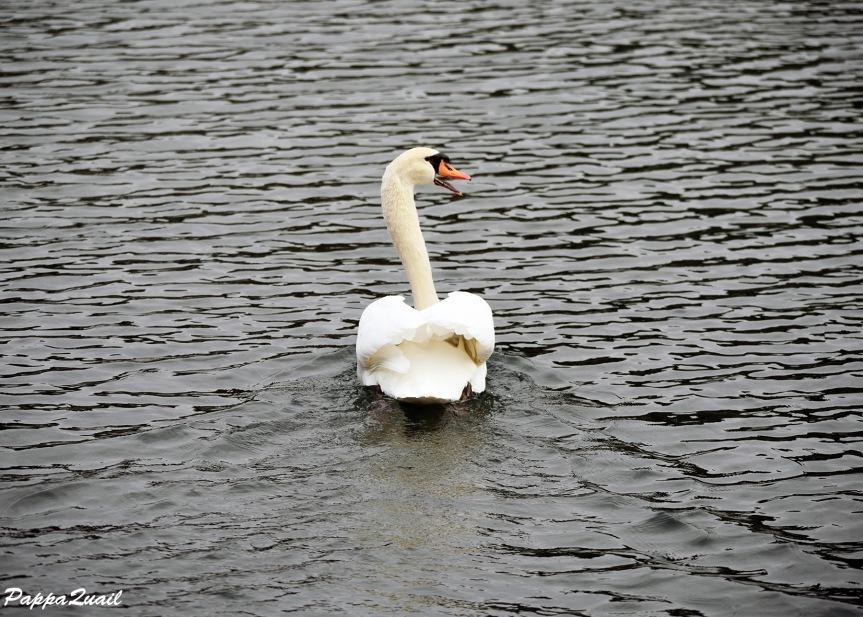 ברבורים – Swans