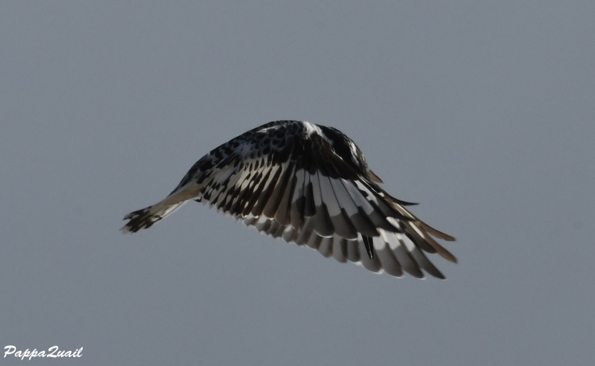 pied kingfisher 2