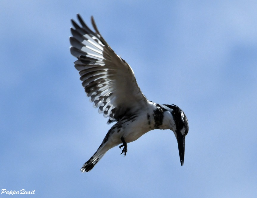 pied kingfisher 3