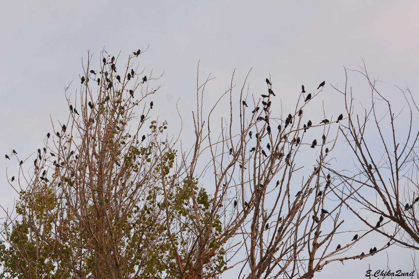 Blackbird Tree
