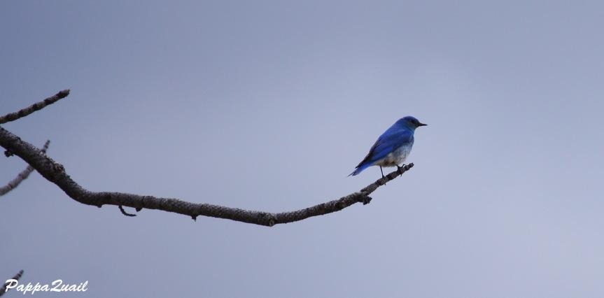 ציפורכחולה