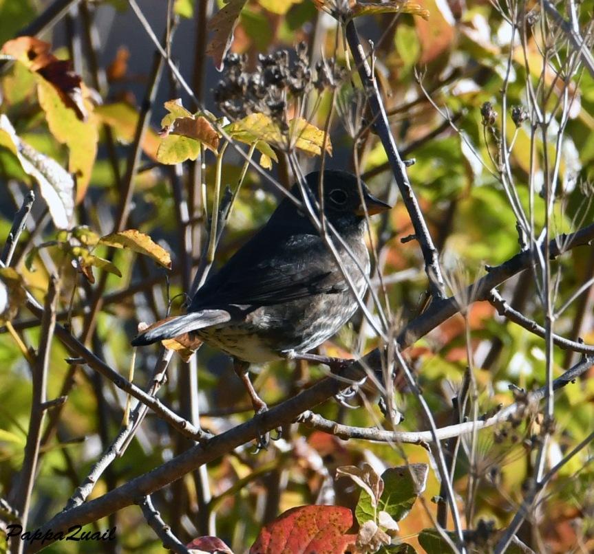 DSF_2316 Fox Sparrow