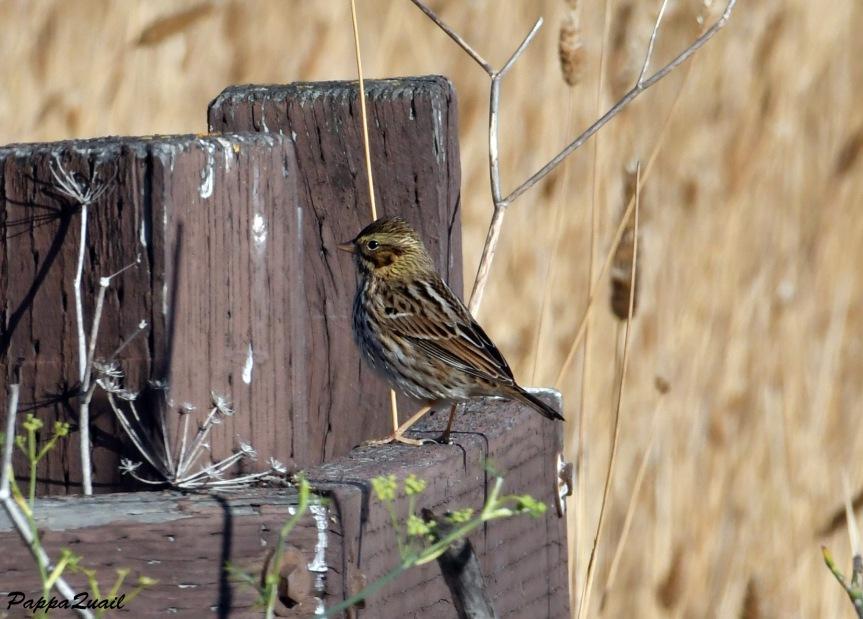 DSF_2324 Savannah Sparrow