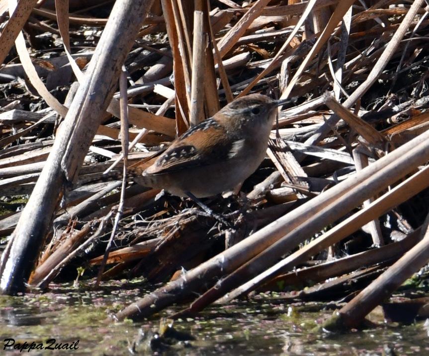 DSF_2413 Marsh Wren