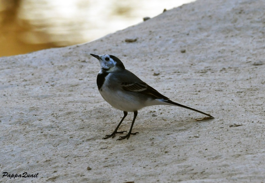 DSF_3654 white wagtail 2019
