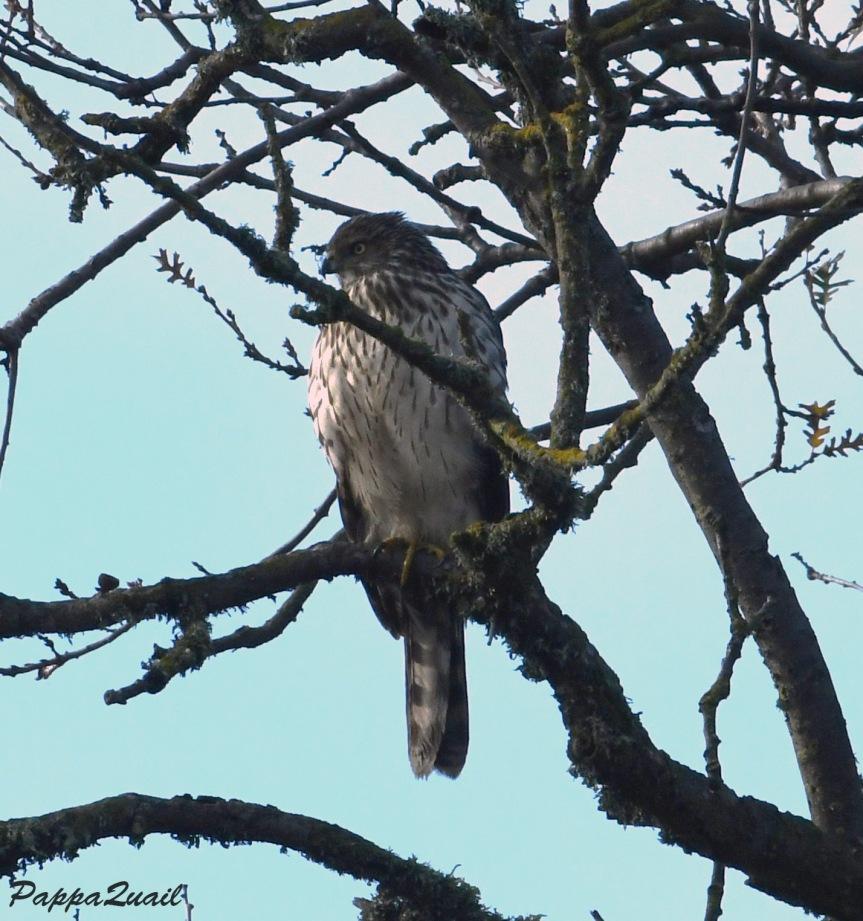 1 coopers hawk
