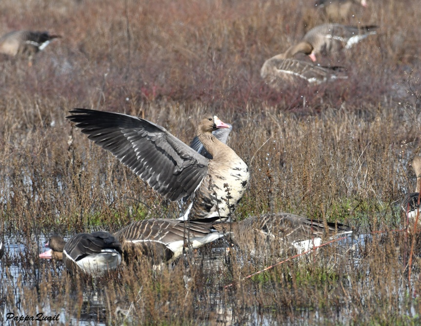 9 white fronted goose