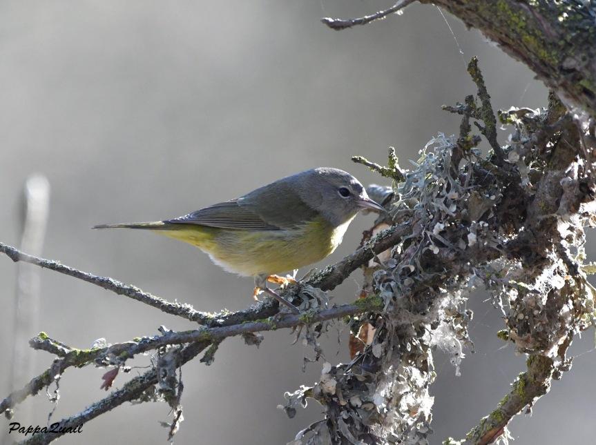 xx orange-crowned warbler