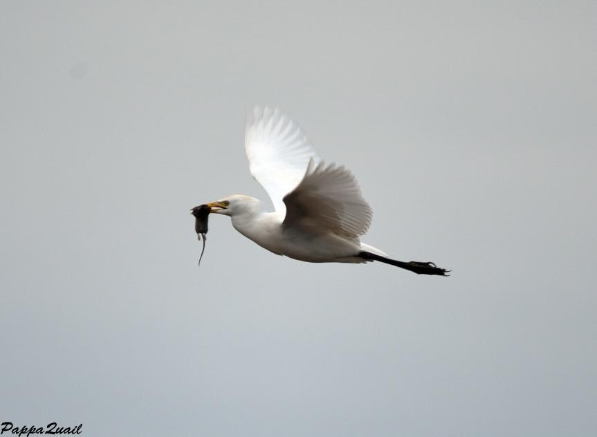 DSD_5267 cattle egret