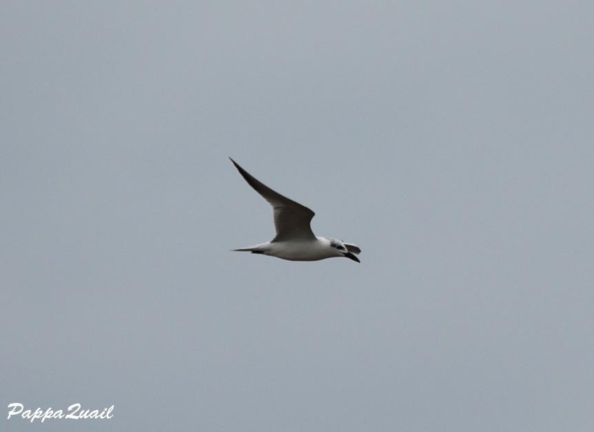 DSD_5590 gull-billed tern