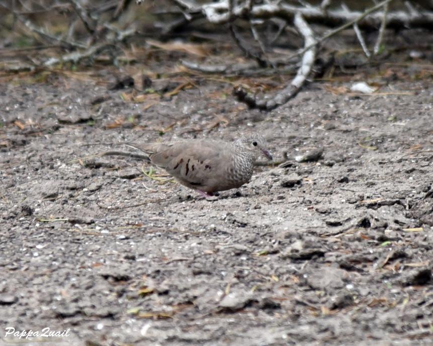DSD_5876 common ground-dove