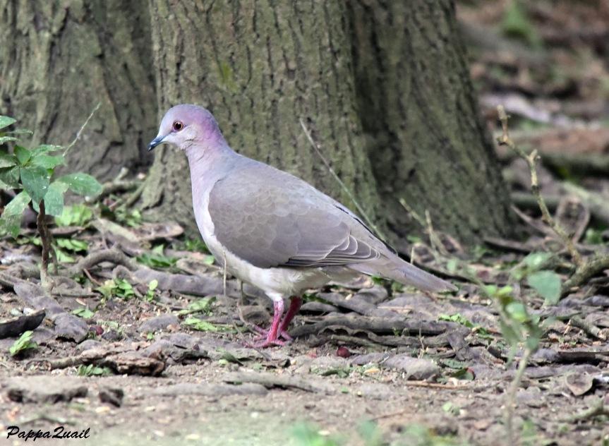 DSD_6007white-tipped dove