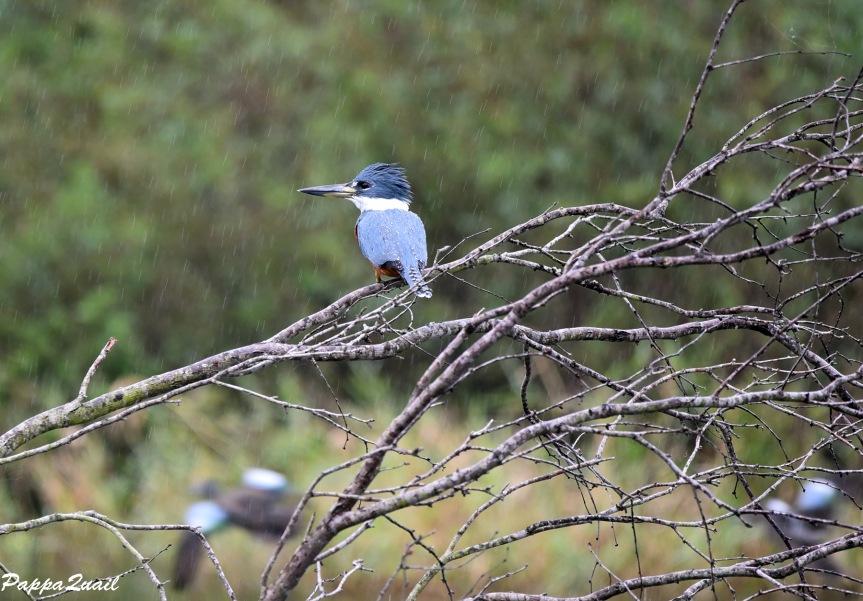 DSD_6030 ringed kingfisher