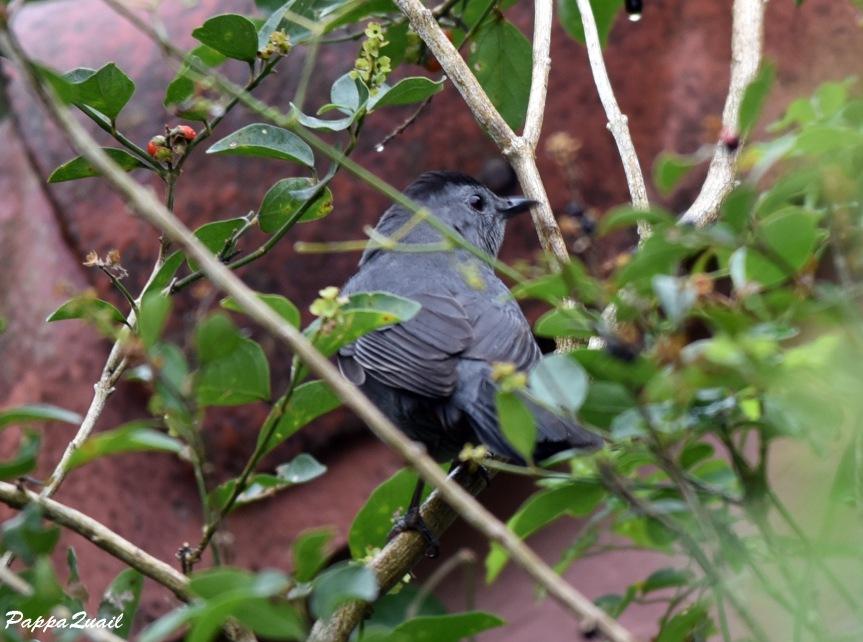 DSD_6113 gray catbird
