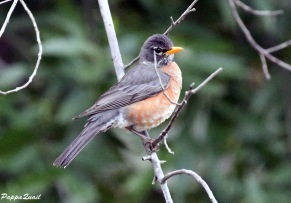 American Robin, young