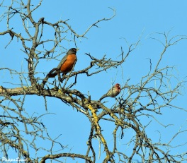 American Robin and House Finch