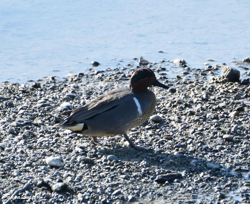 duck DSF_6267