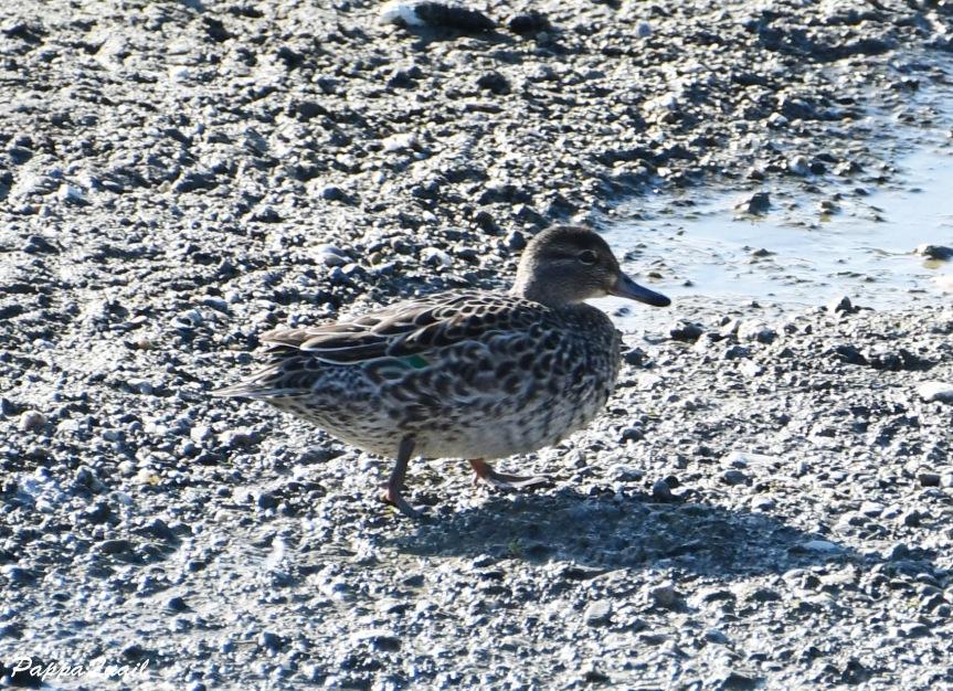 duck DSF_6269