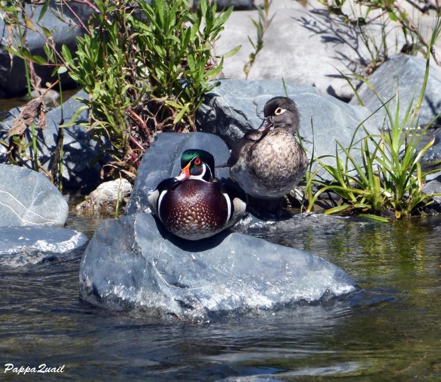 duck DSF_6403