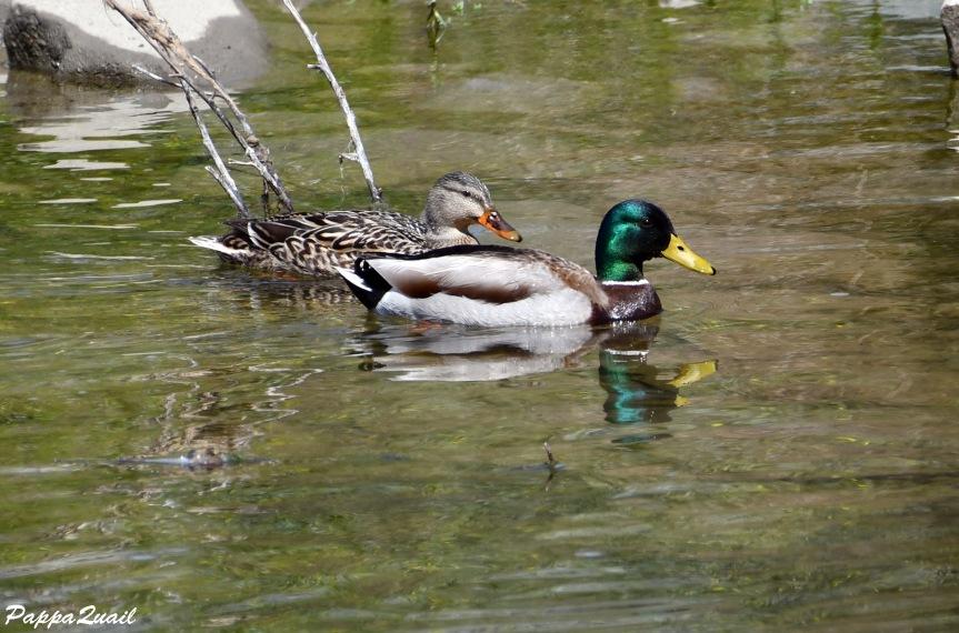 duck DSF_6410