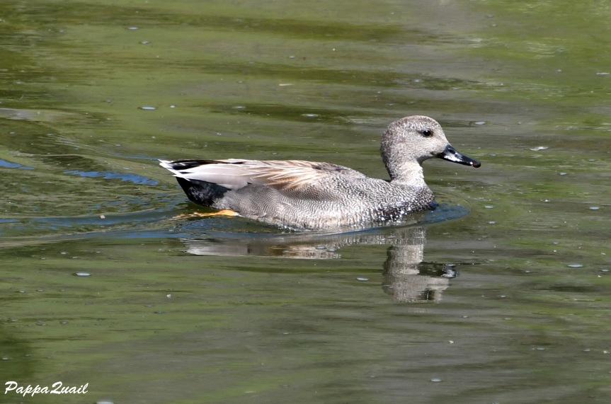 duck DSF_6423