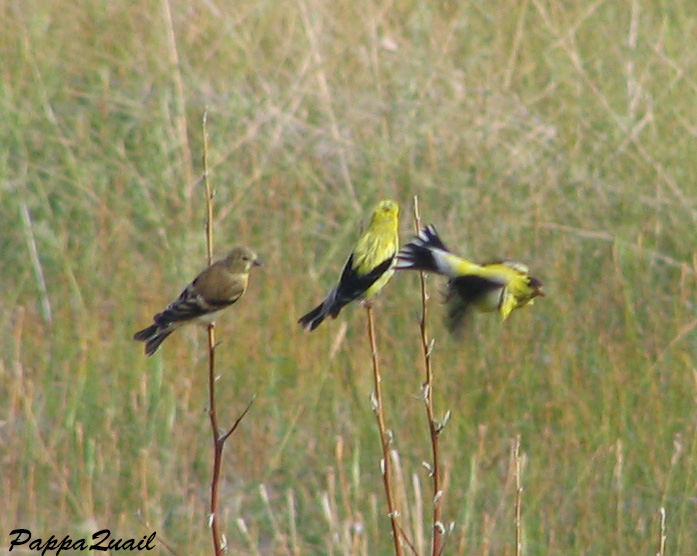 American Goldfinch, two males and female