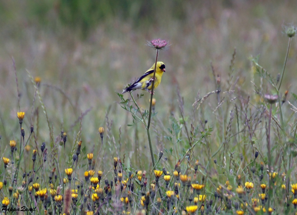American Goldfinch, male, breeding colors
