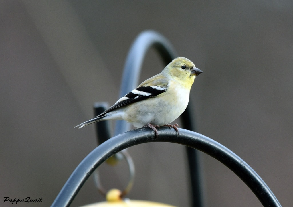 American Goldfinch, male, non-breeding