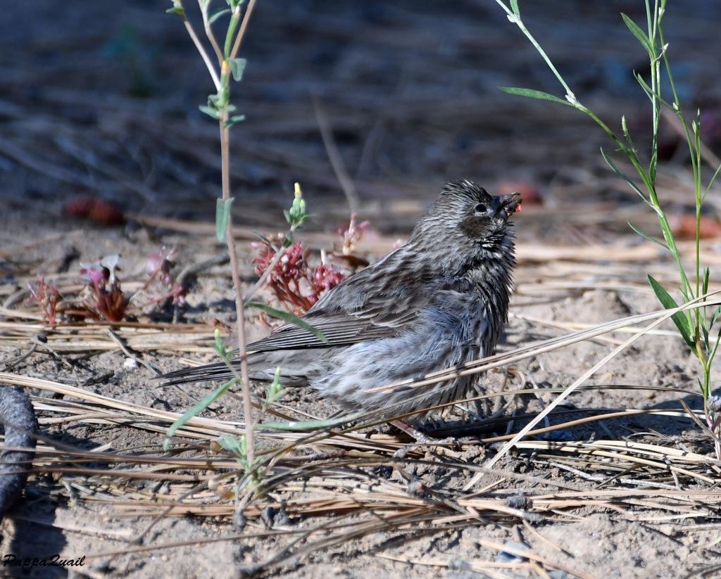 Cassin's Finch, female