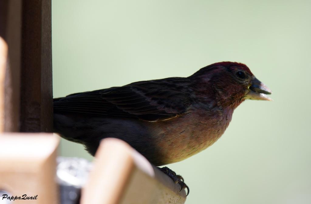 Cassin's Finch, male