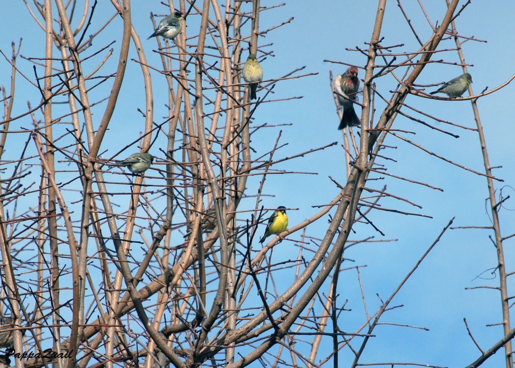 Lesser Goldfinches and a House Finch