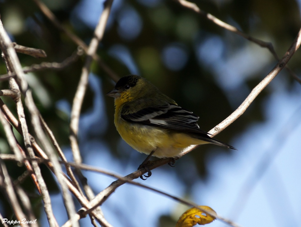 Lesser Goldfinch, male, western