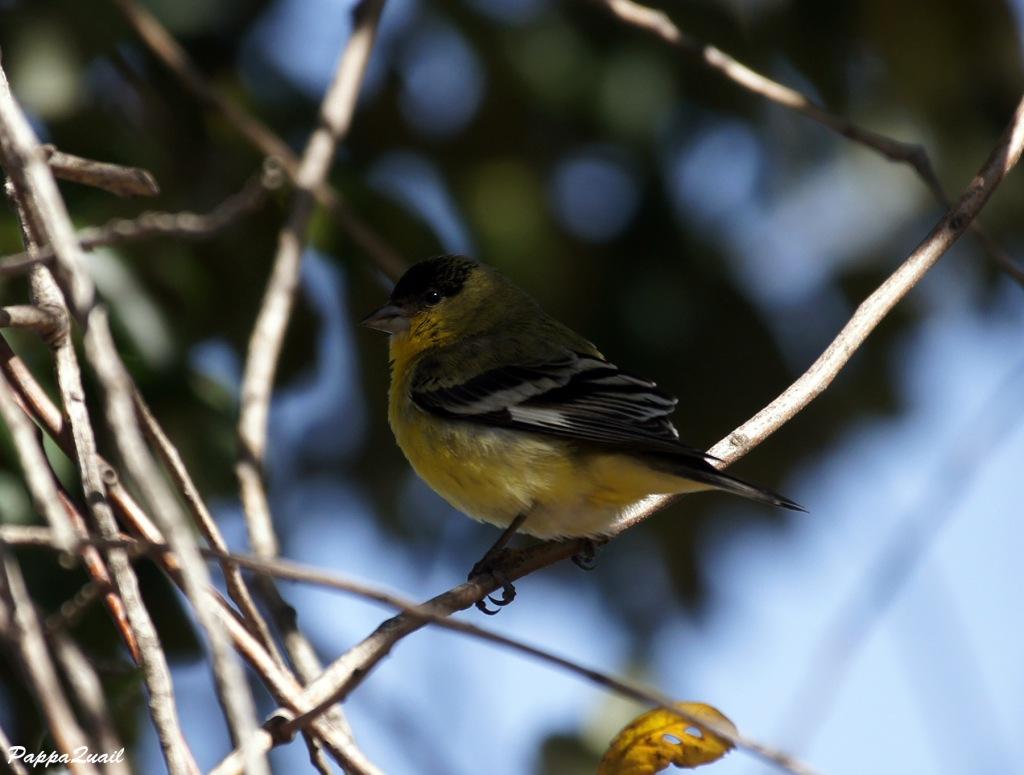Lesser Goldfinch, male, western