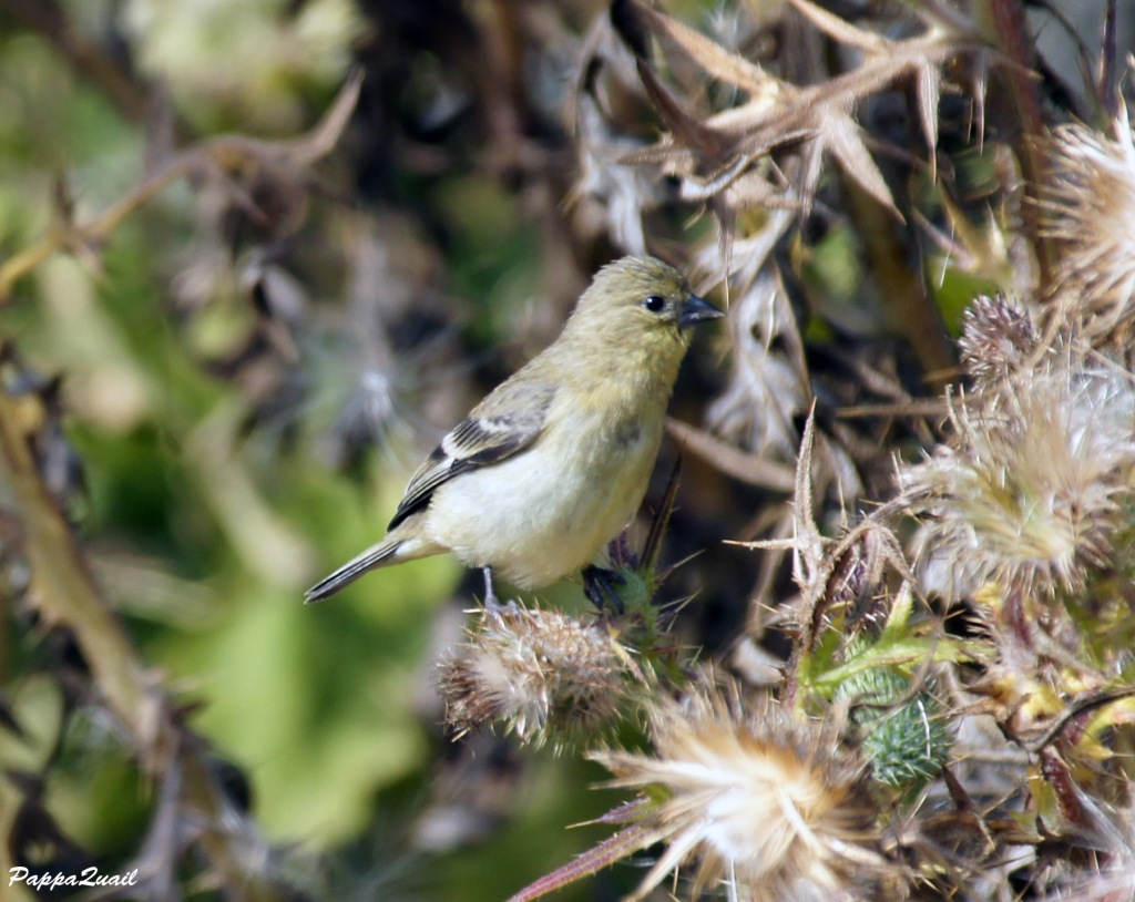Lesser Goldfinch, female