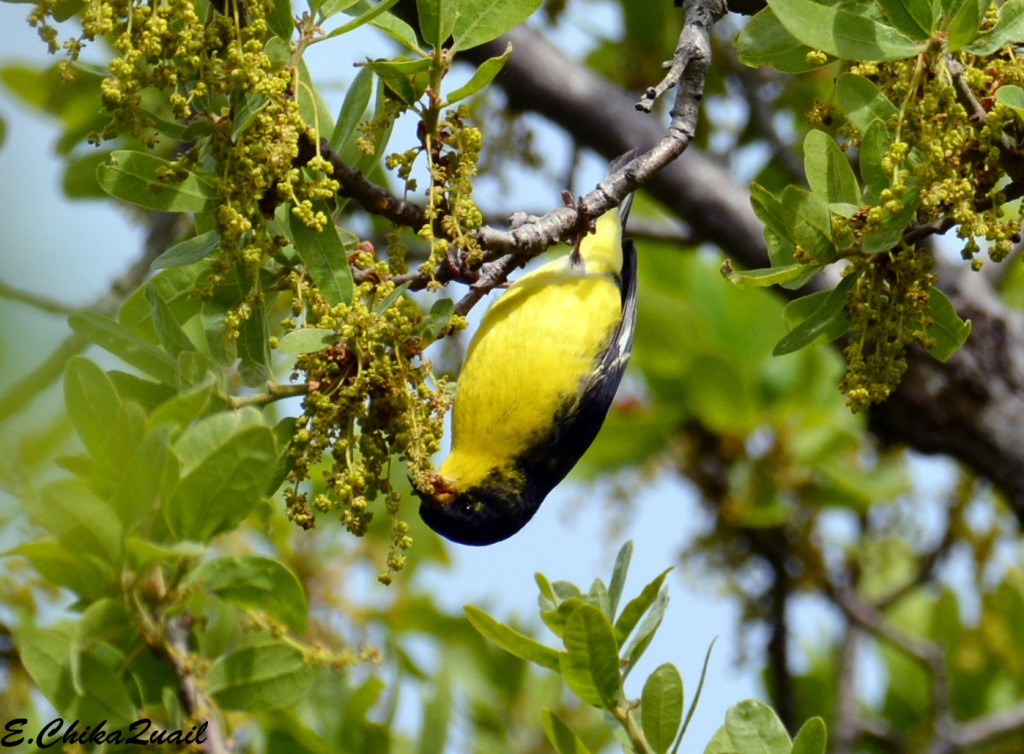 Lesser Goldfinch, male, eastern