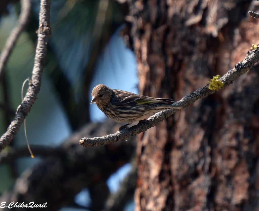 Pine Siskin, female