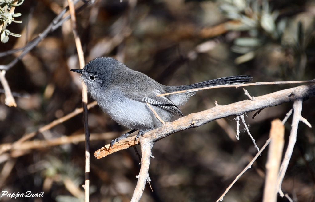 Black-tailed Gnatcatcher, male