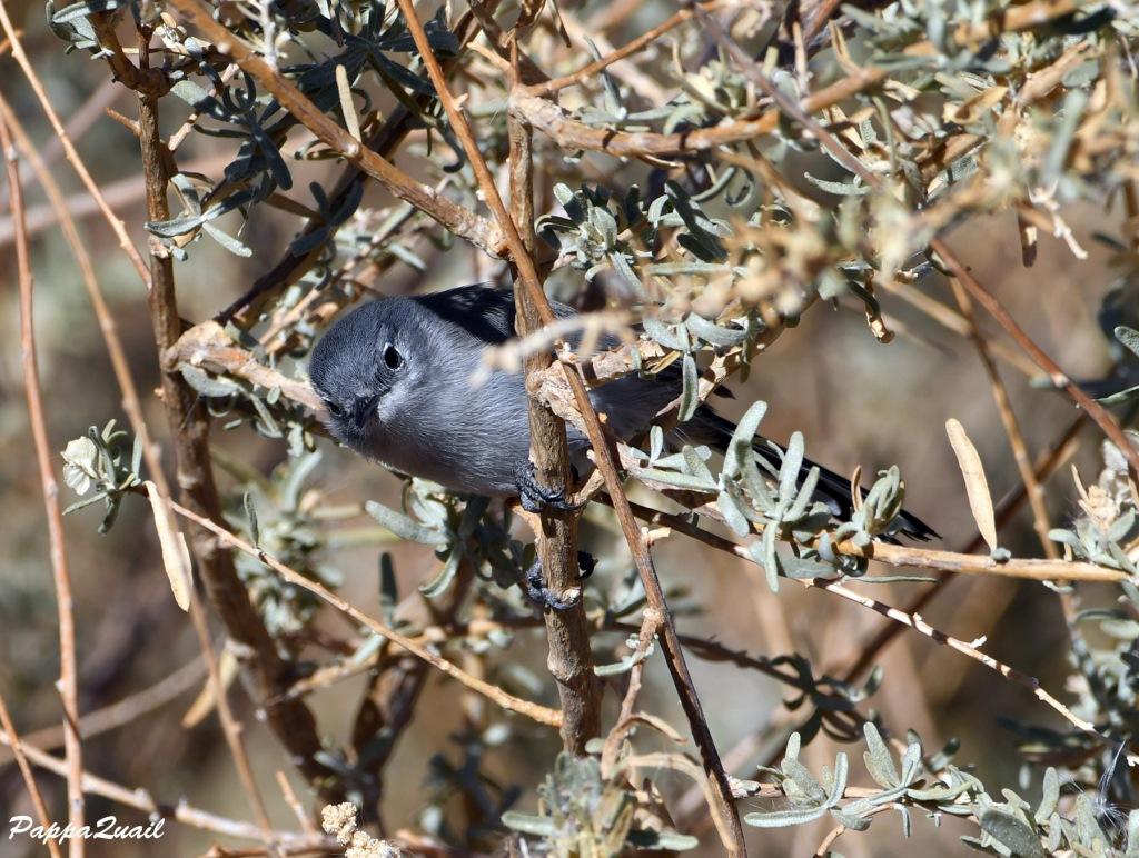 Black-tailed Gnatcatcher, female
