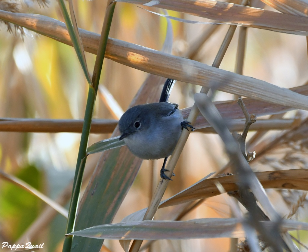 Black-tailed Gnatcatcher, female