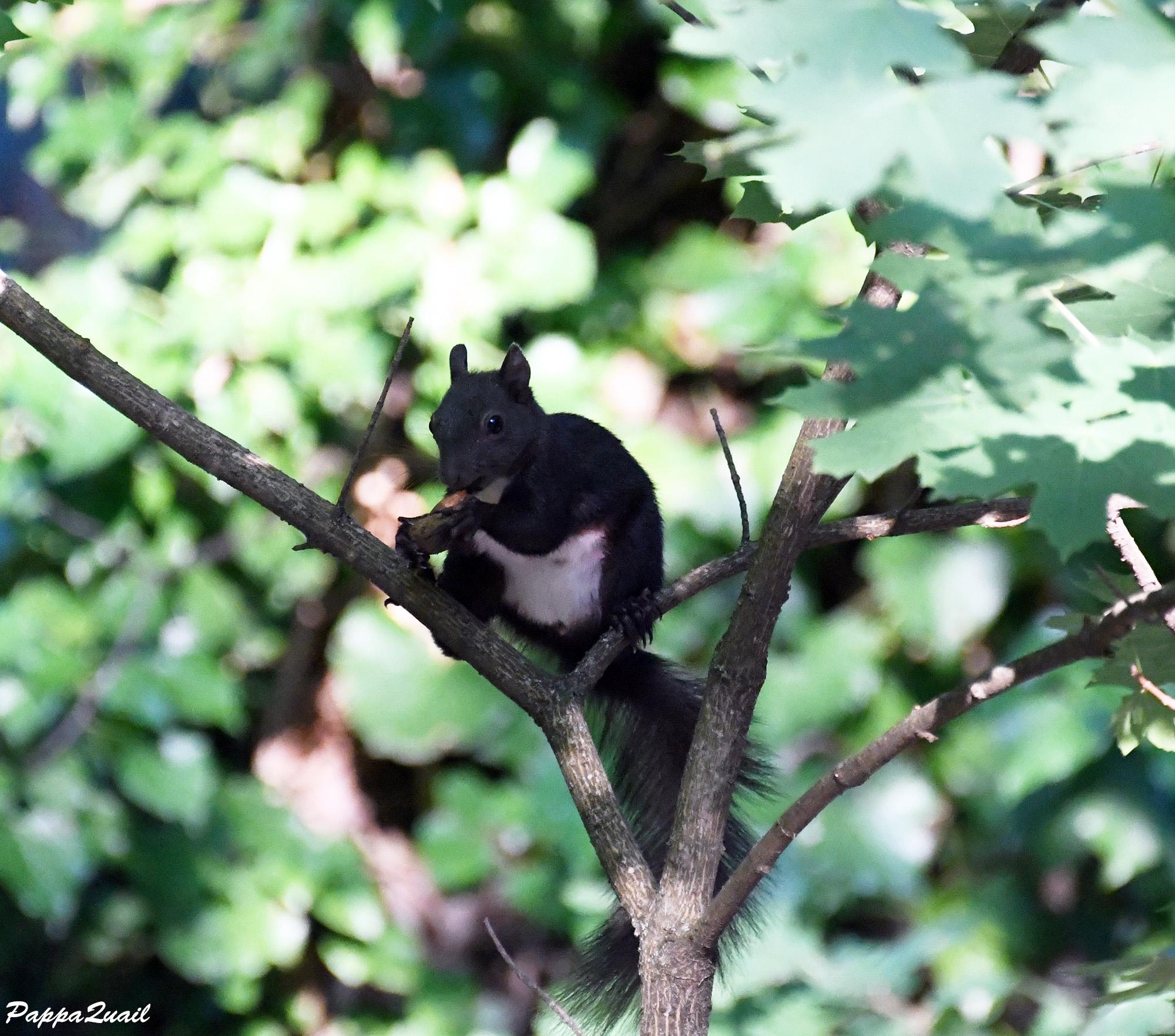Eurasian Red Squirrel - Sciurus vulgaris