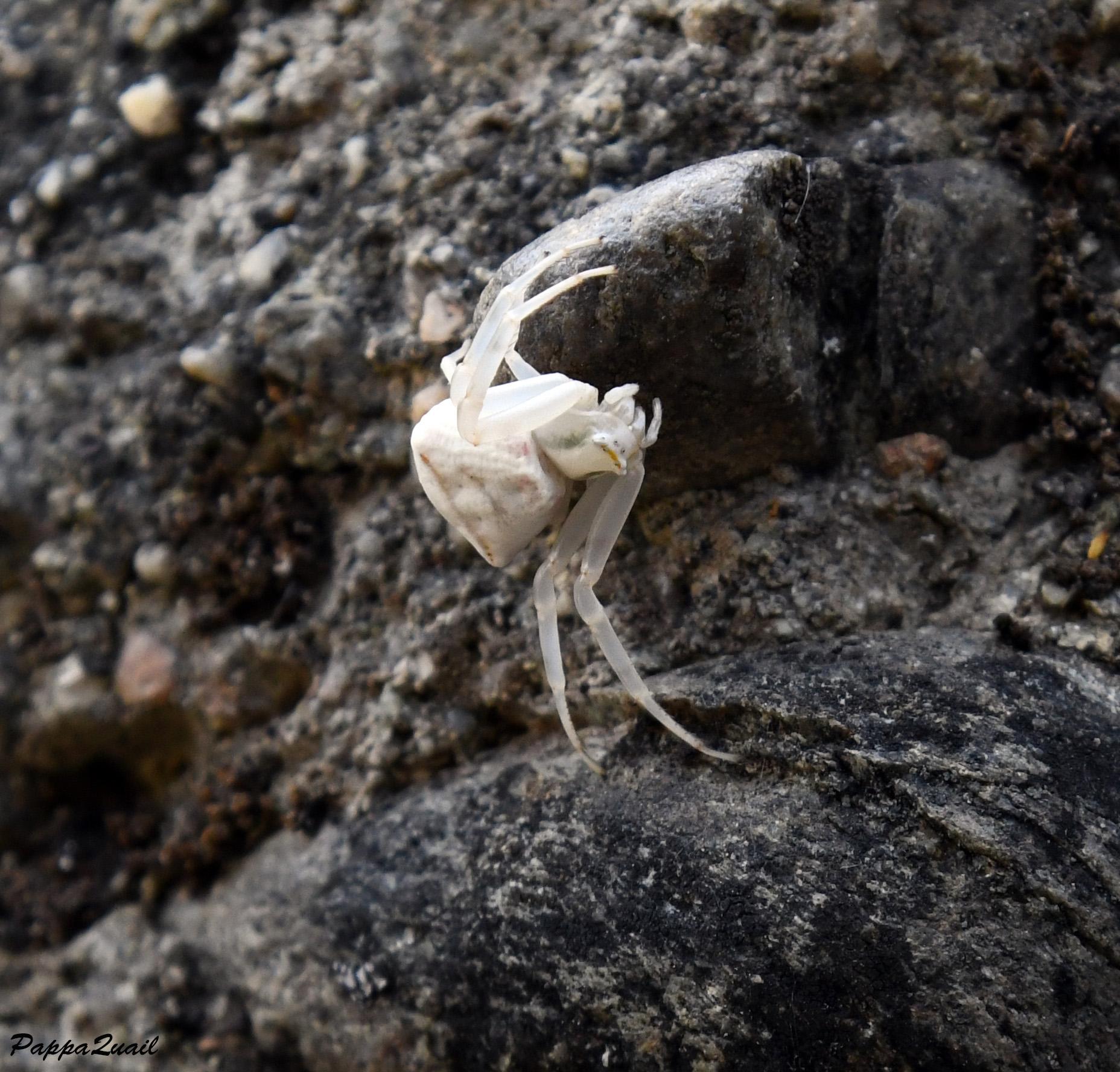 Crab Spider - Thomisidae sp.