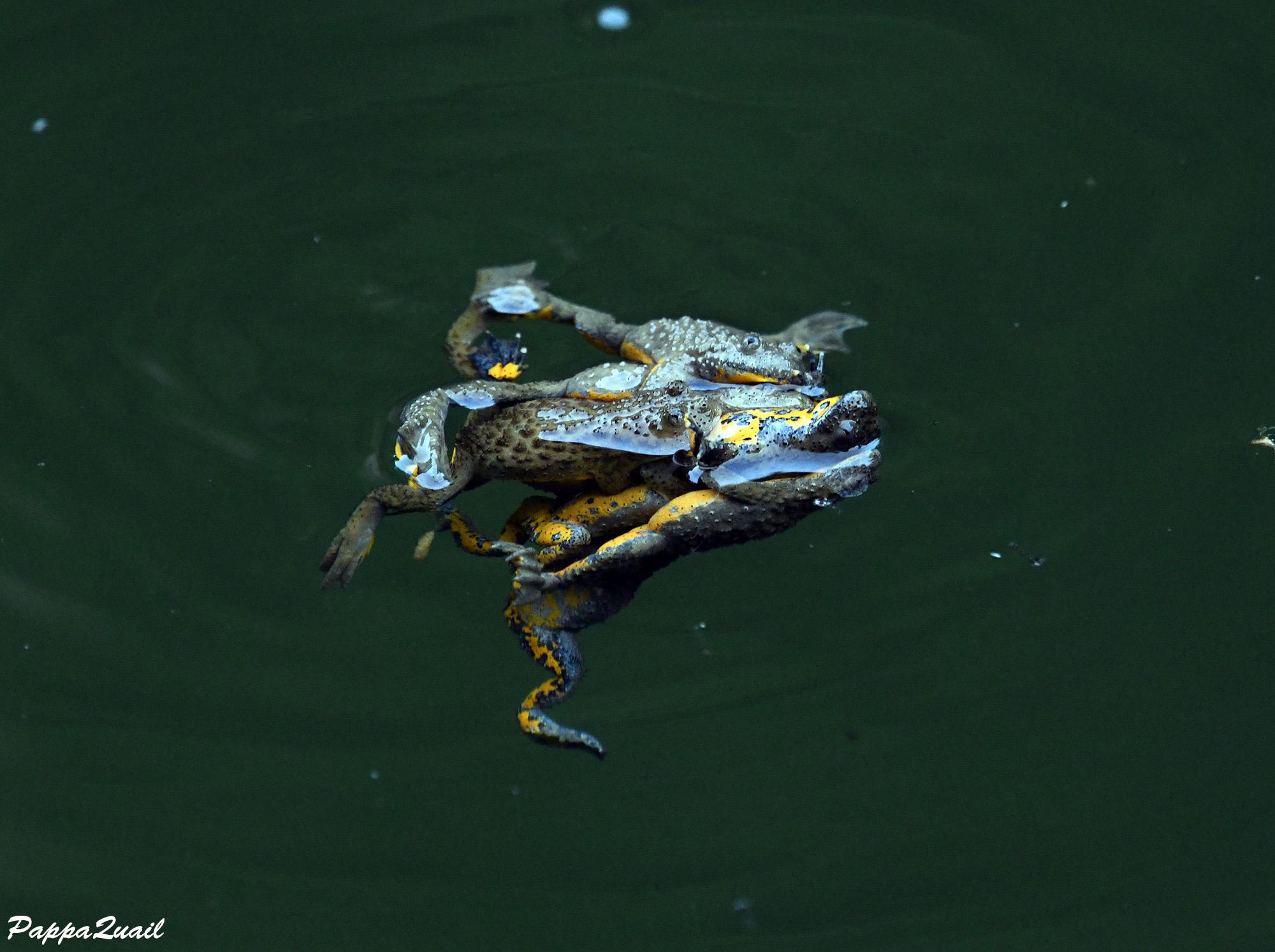 Yellow-bellied Toad - Bombina variegata