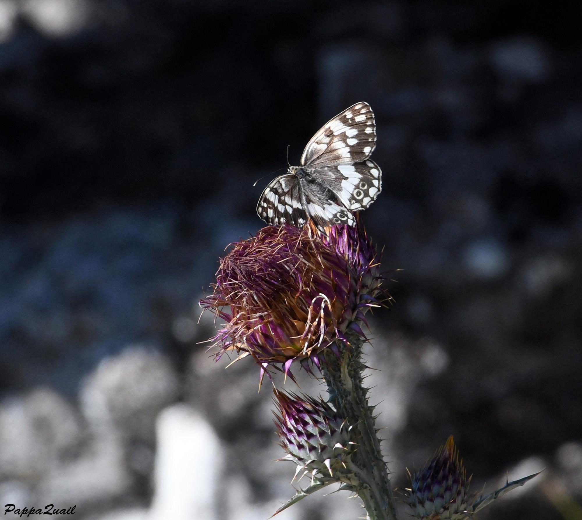 Balkan Marbled White- Melanargia larissa