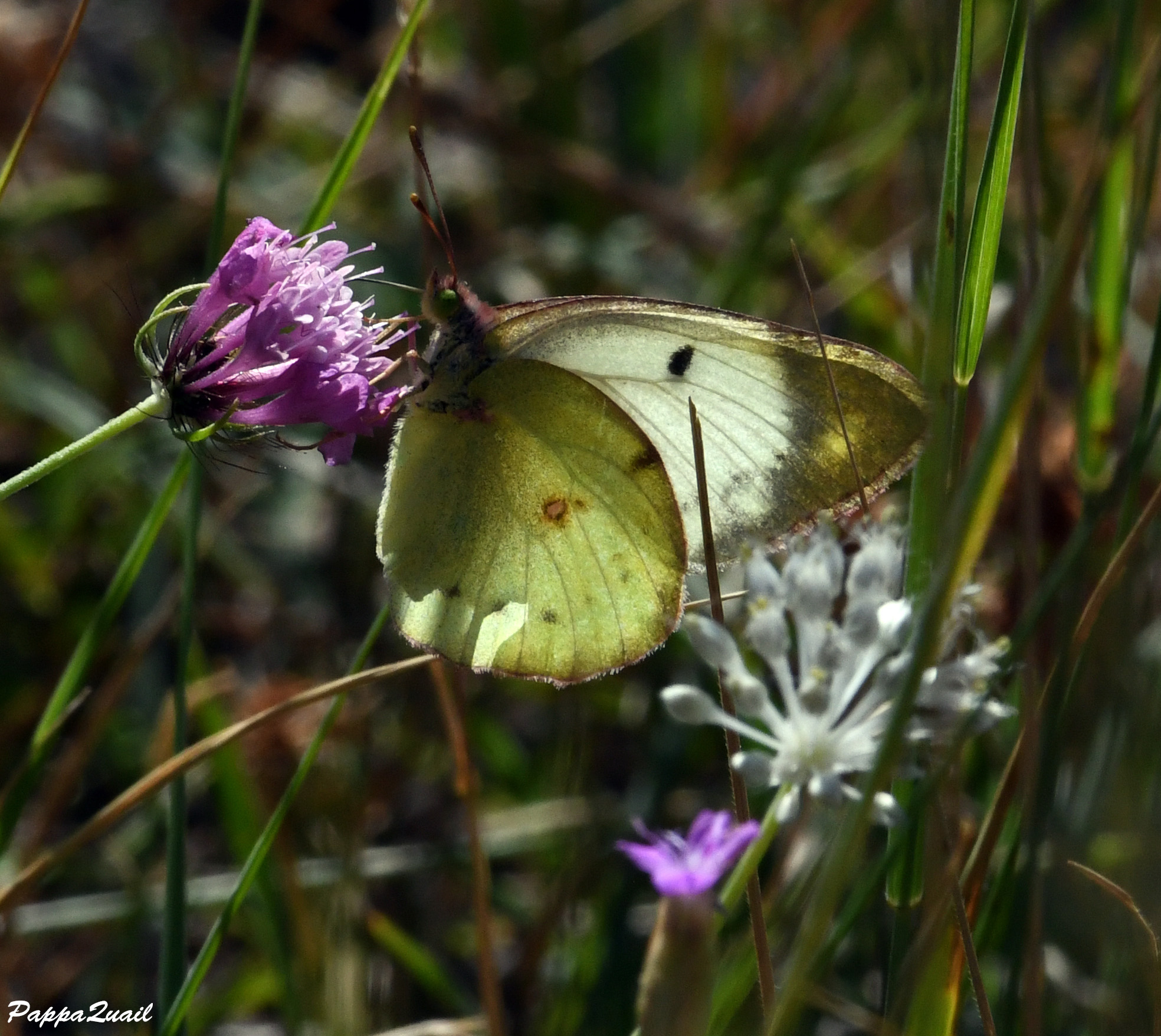 Berger's Clouded Yellow - Colias alfacariensis