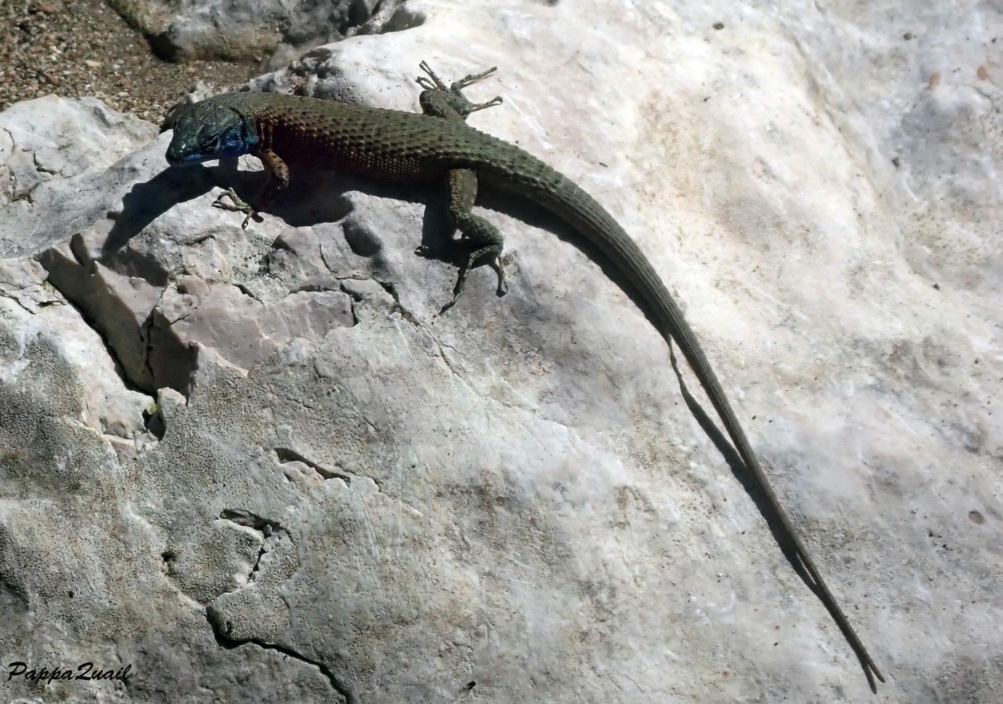 Blue-throated keeled lizard - Algyroides nigropunctatus